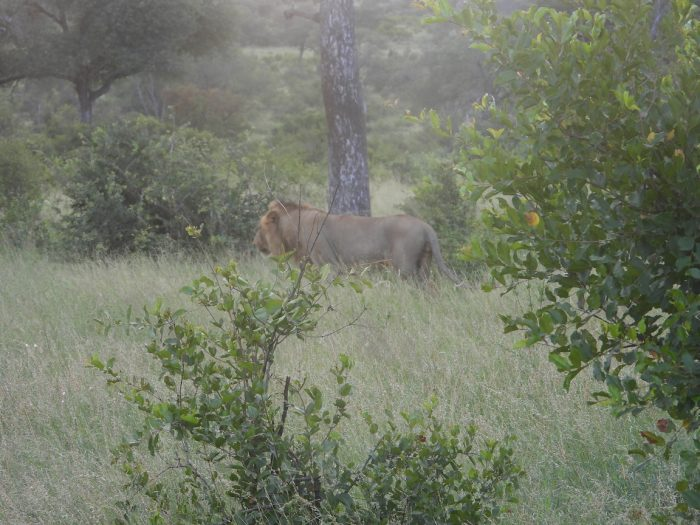just off the road rare view of Lion