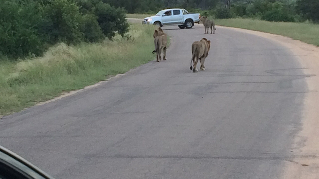 Rare view of Lions on Road